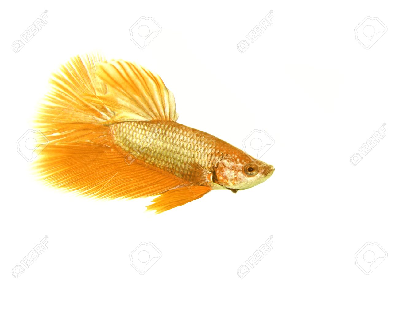 Gold betta fish on white background Stock Photo - 16165683