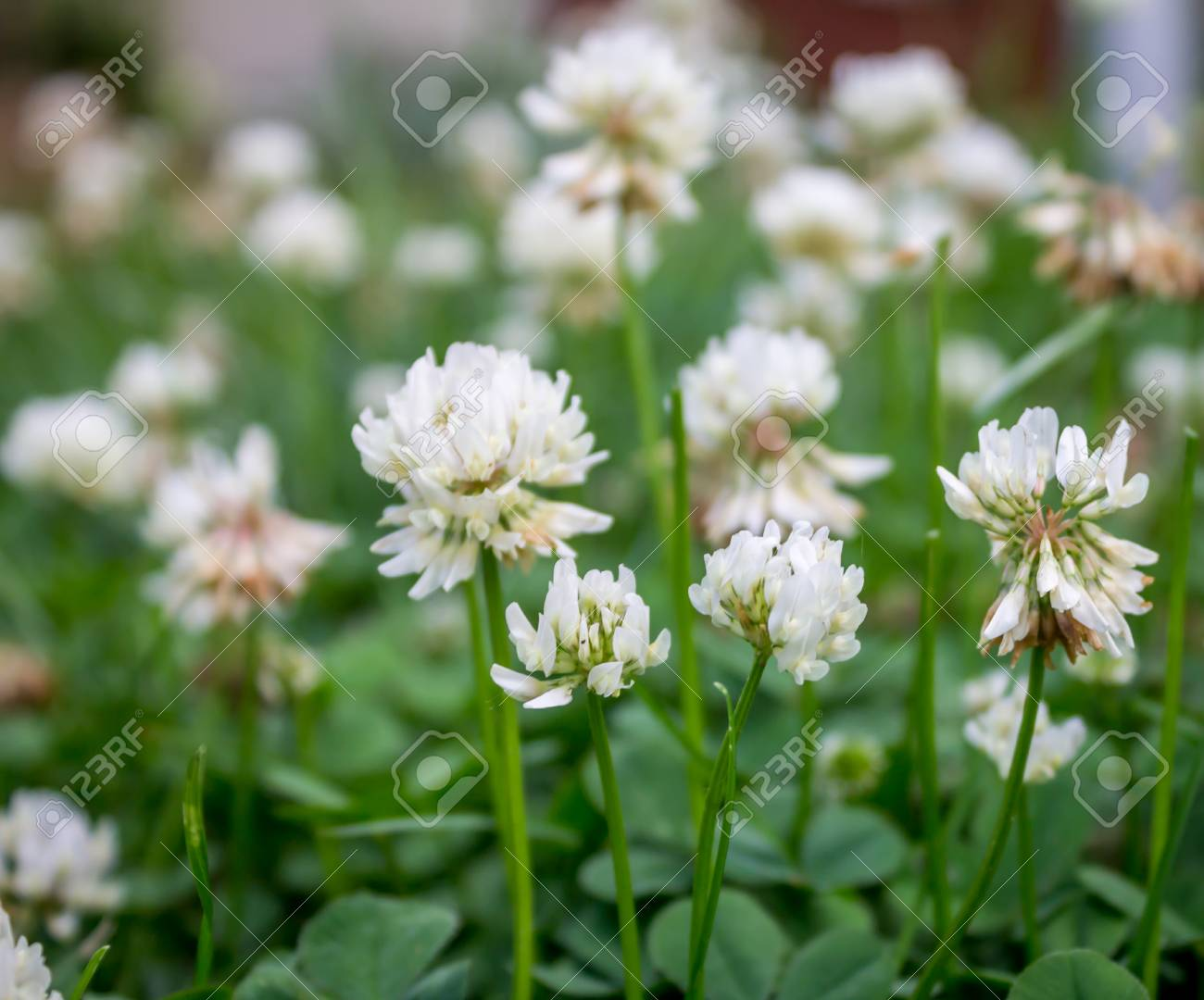 White clover flowers from life to death stock photo picture and stock photo white clover flowers from life to death mightylinksfo