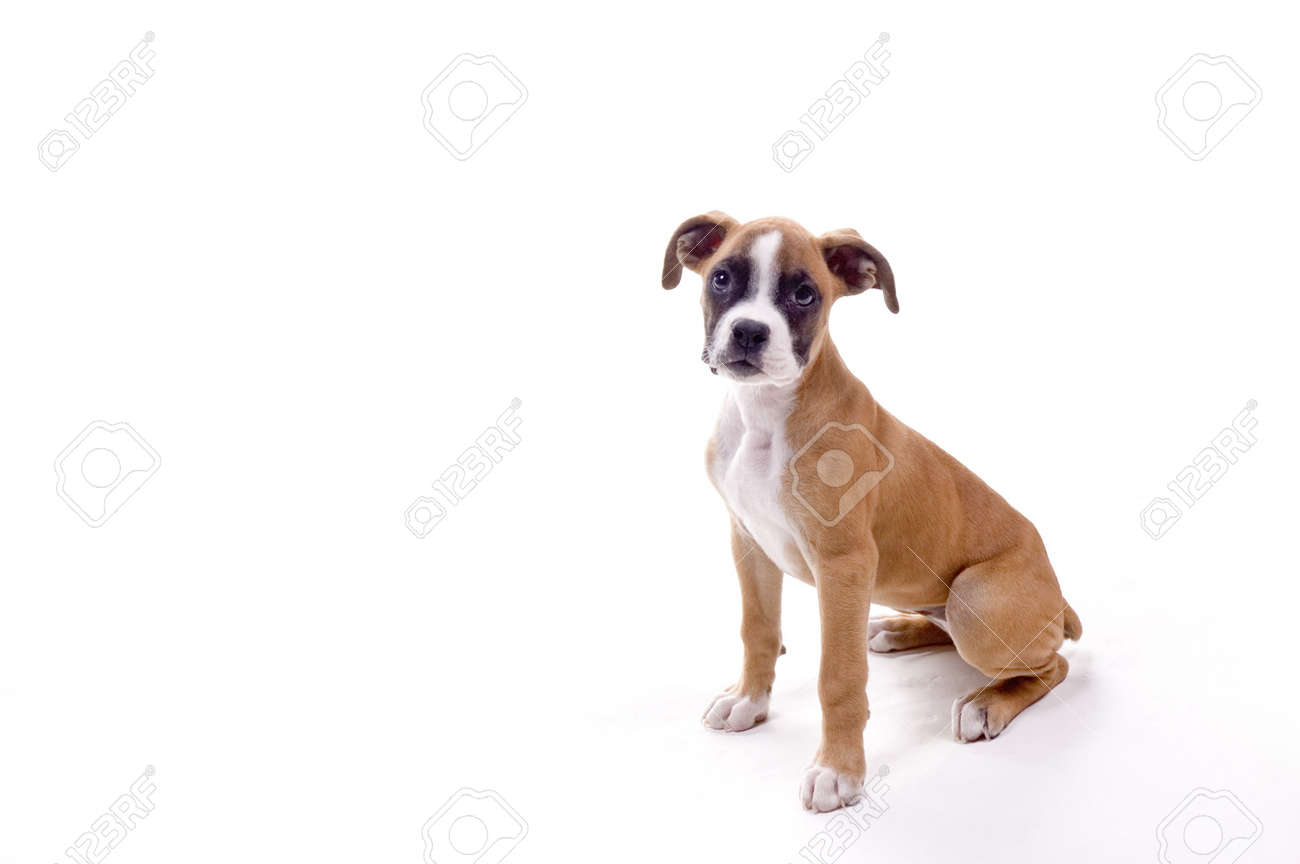 3 month old boxer puppy in perfect pose stock photo picture and