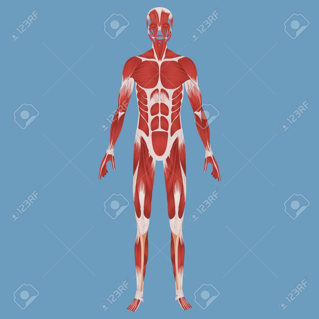Ilustración Del Sistema Muscular Humano Fotos, Retratos, Imágenes Y ...