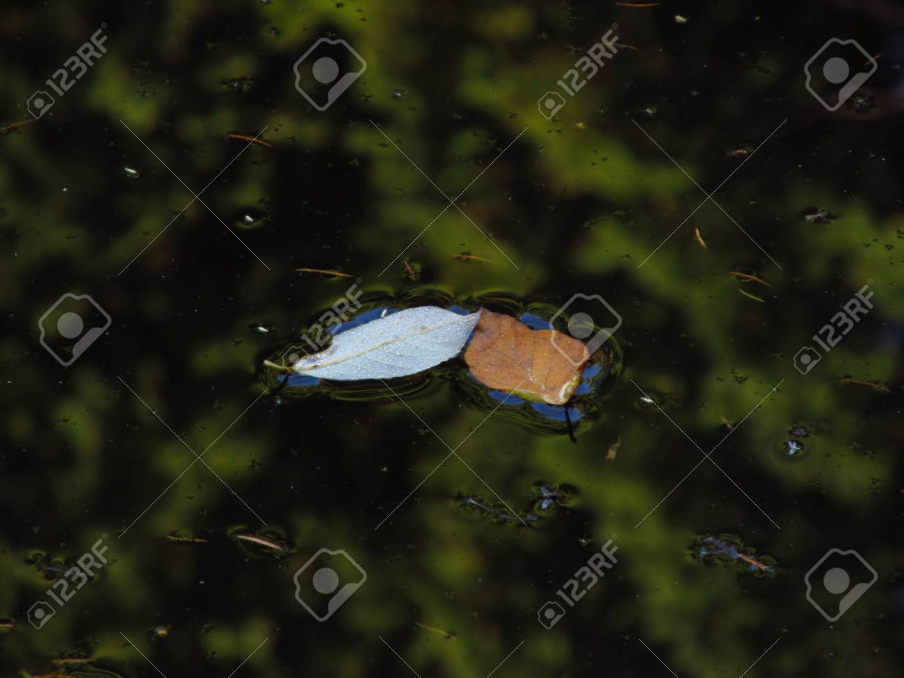 Two leaves on water surface Stock Photo - 17595179