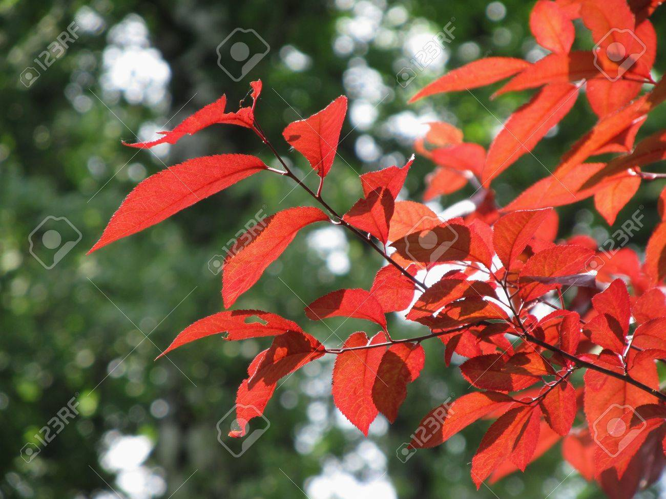 Red Leaves Of An Exotic Beech And Dark Green Trees At The