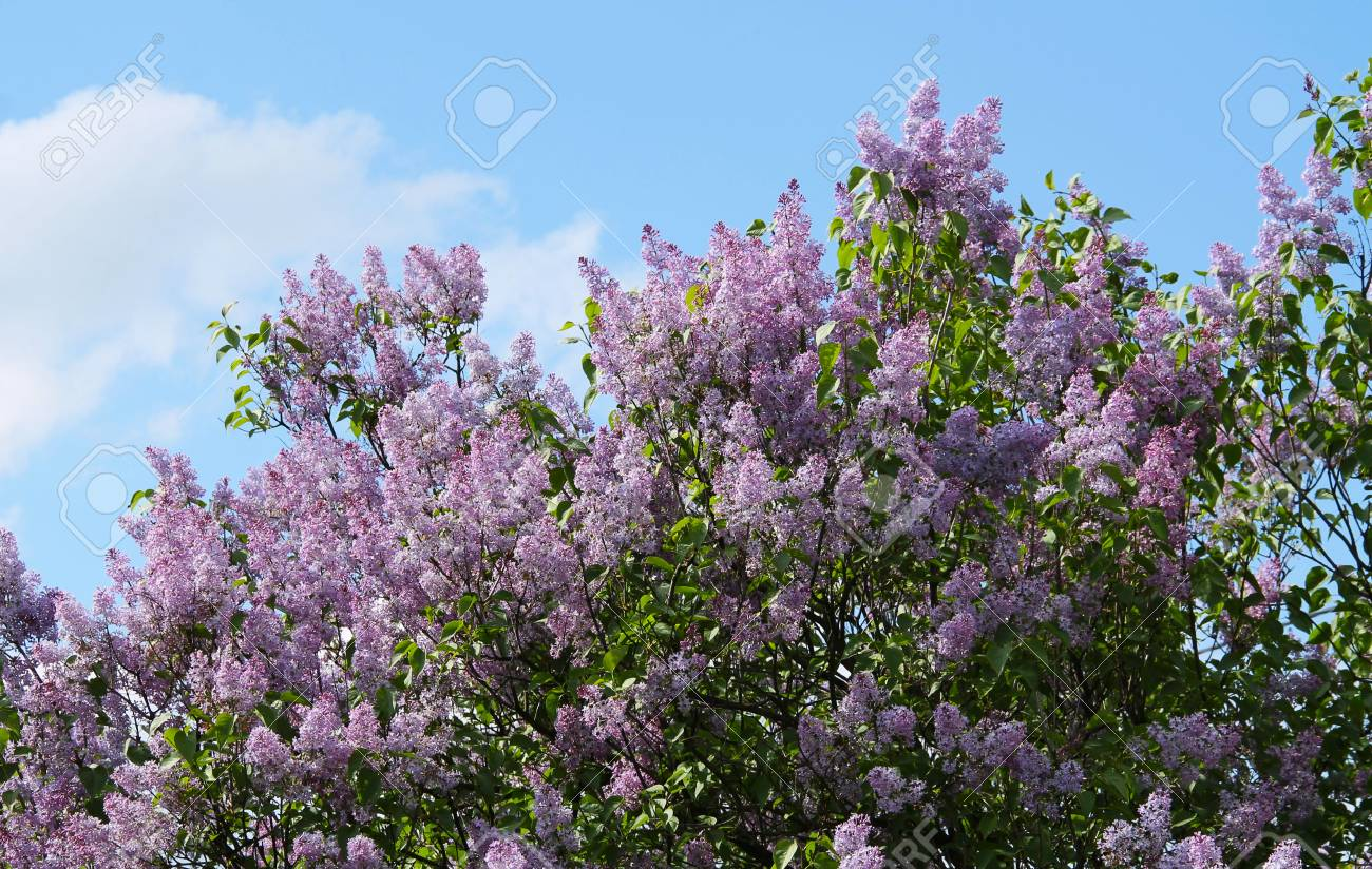 Lilac Tree With Many Purple Blooms In Spring Stock Photo Picture