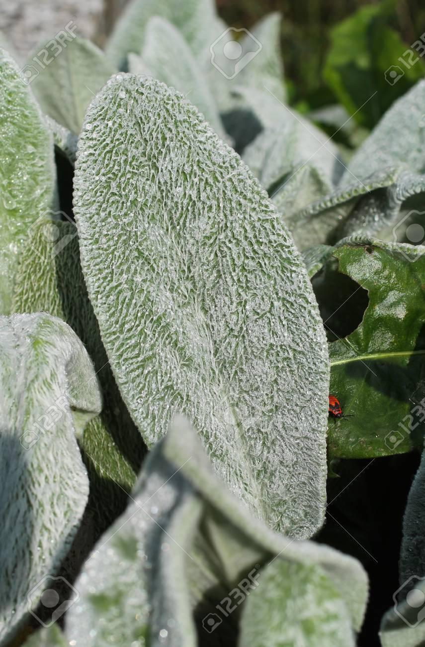 Pianta Orecchie Di Agnello close photo of shaggy leaves of lamb´s ear plant (stachys byzantina)