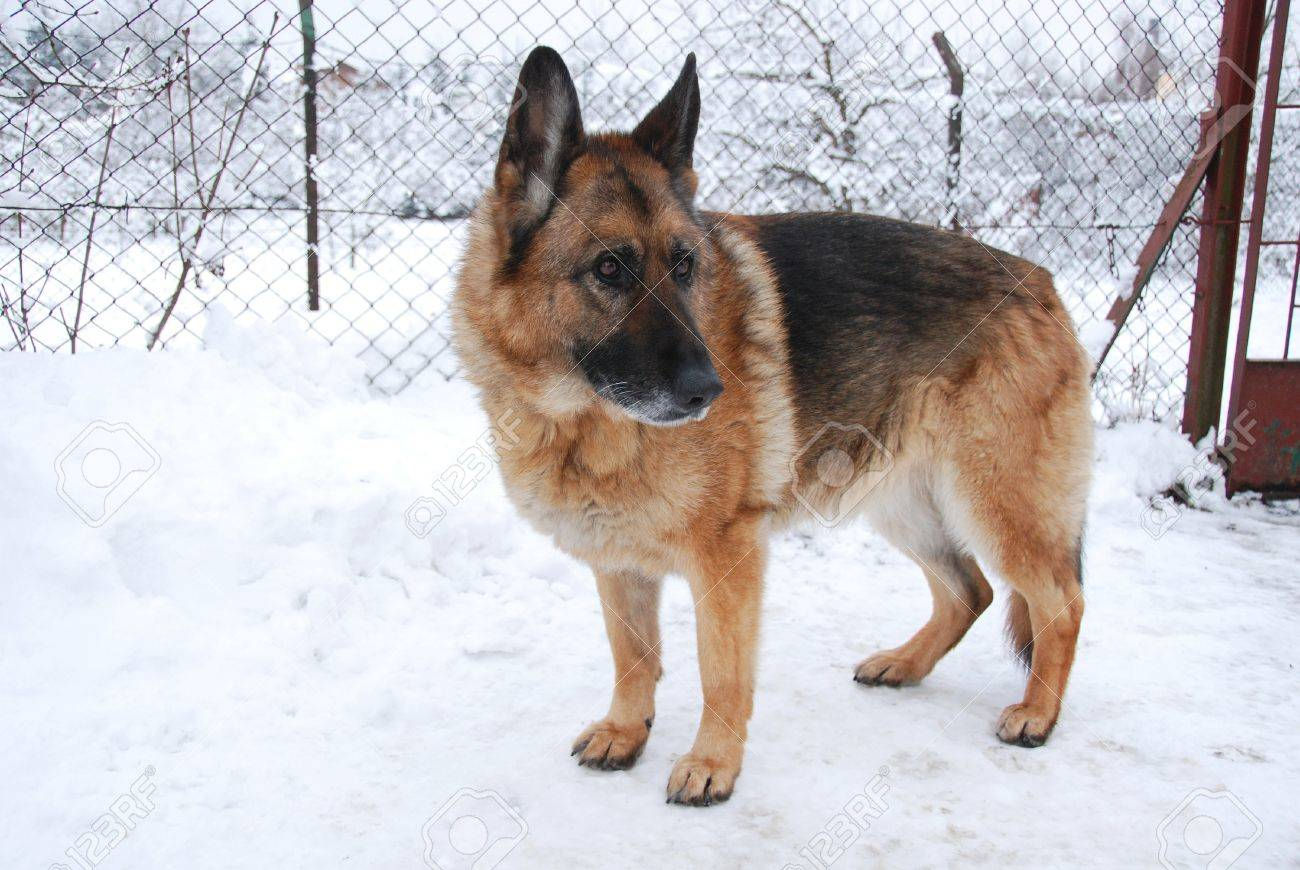 german sheep dog. Stock Photo - 17895352