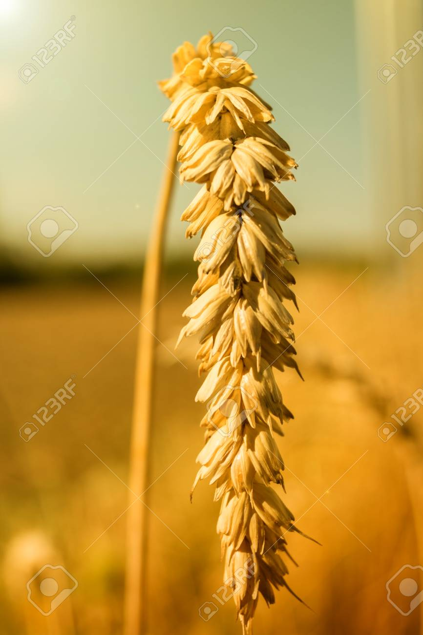 Wheat Close Up Golden Wheat Ears At Midday Sun Stock Photo