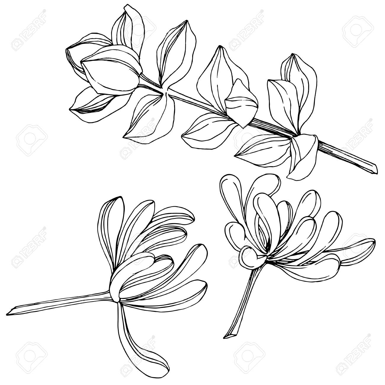 Vector Succulent floral botanical flower. Wild spring leaf wildflower isolated. Black and white engraved ink art. Isolated succulents illustration element on white background. - 126068129