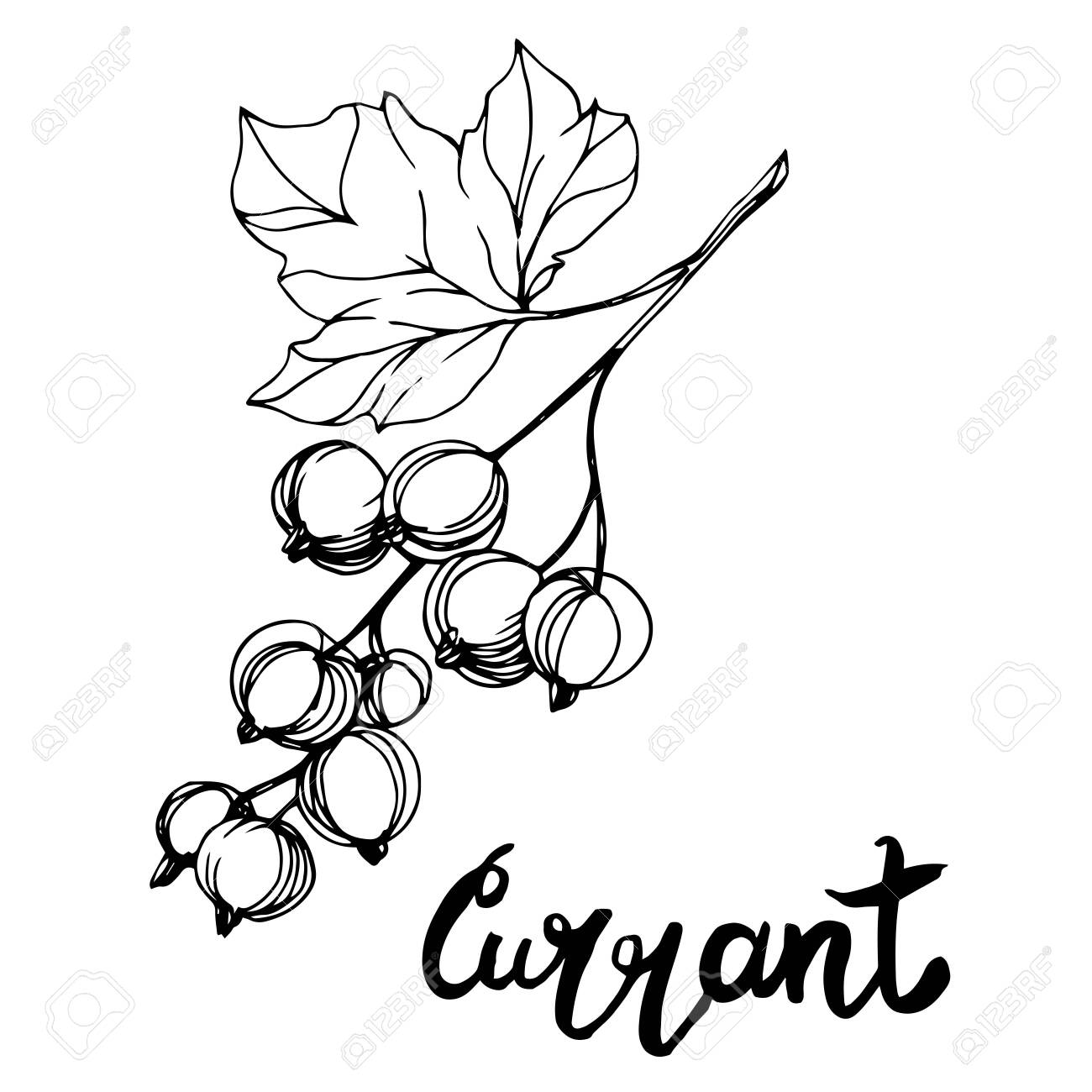 Vector Currant healthy food. Black and white engraved ink art. Isolated berry illustration element. - 134180896