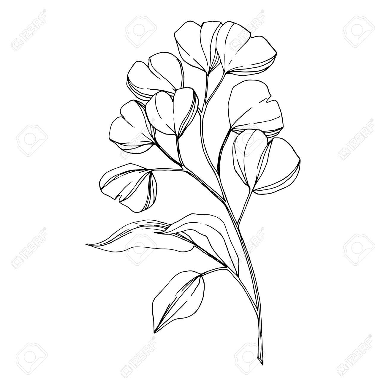 Vector Eucalyptus branch. Black and white engraved ink art. Isolated eucaliptus illustration element. - 134267800