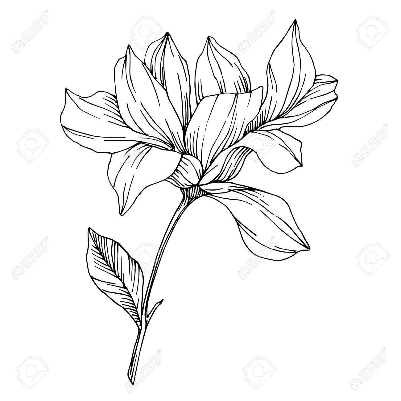 Vector Magnolia floral botanical flowers. Black and white engraved ink art. Isolated magnolia illustration element. - 134233188