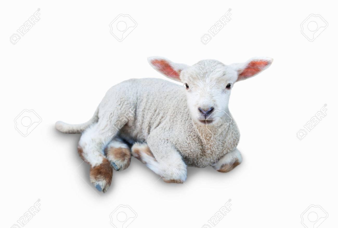 Lamb - 30802037