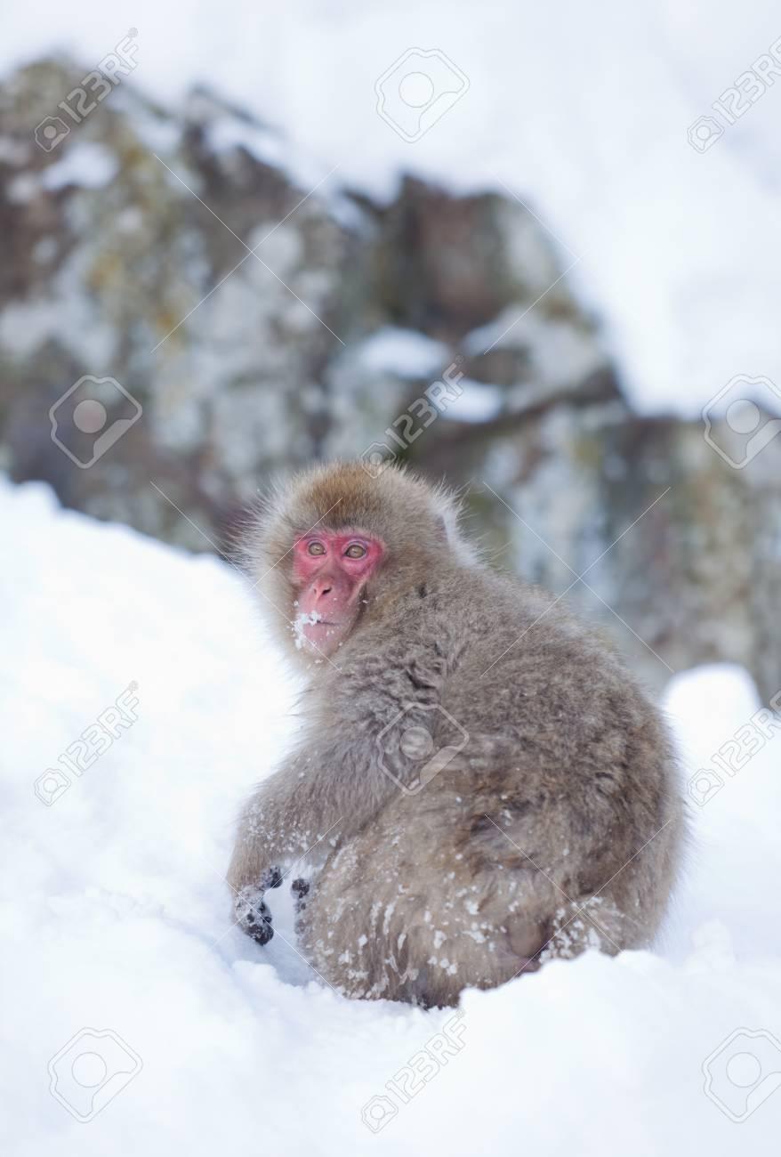 Mono De Nieve De Jigokudani Onsen En Japón Fotos Retratos Imágenes