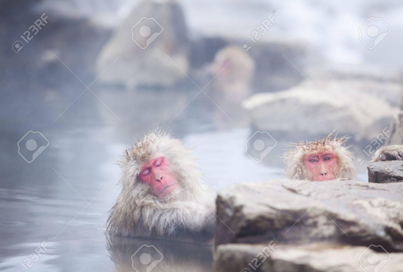 Snow monkeys in hot springs of Nagano, Japan. - 47365519