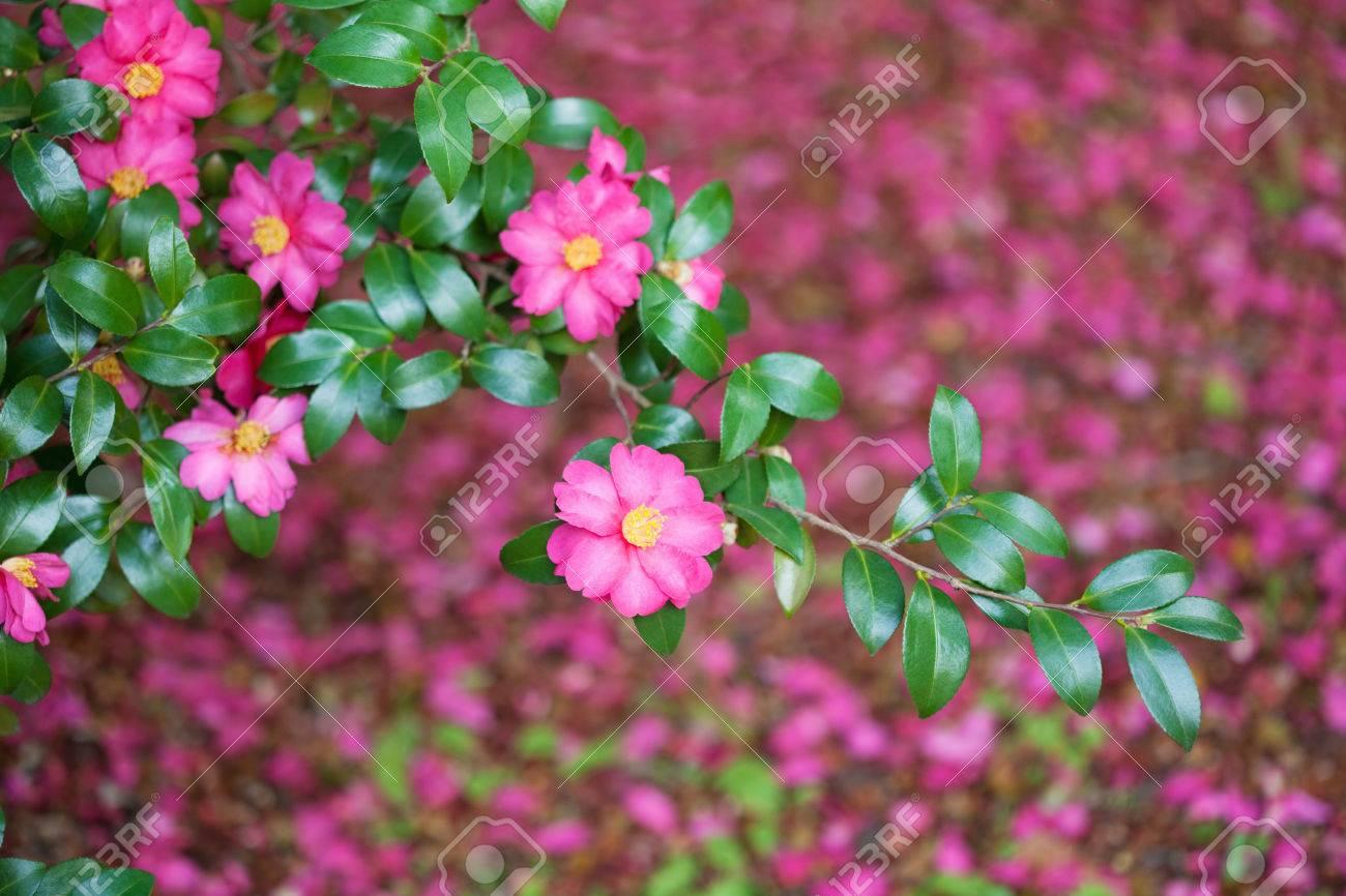 Camellia sasanqua - 47365426