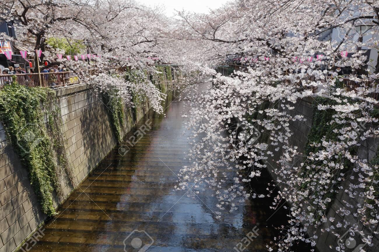 Cherry blossoms of Meguro River - 129192443