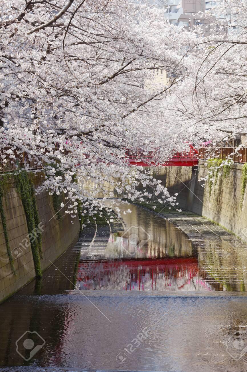 Cherry blossoms of Meguro River - 129192448
