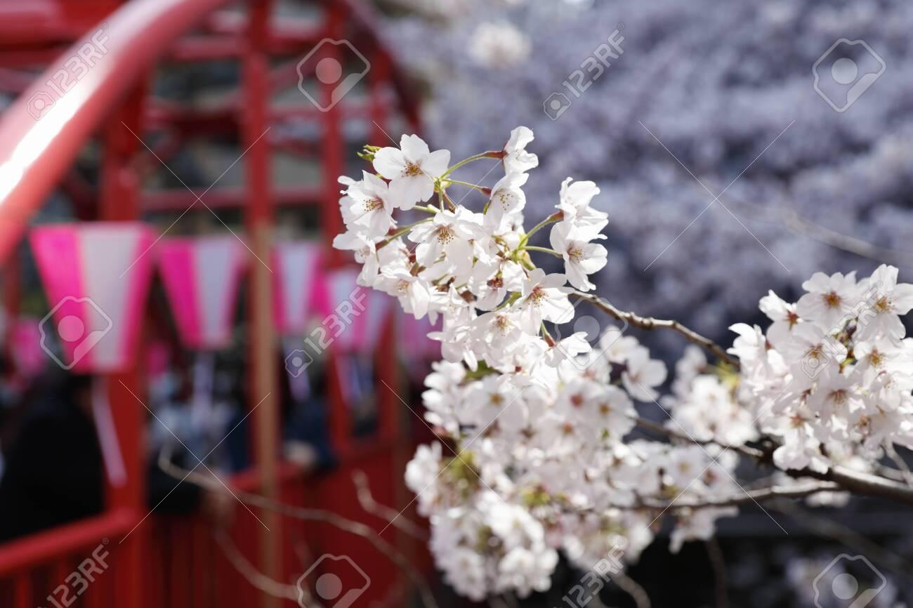 Cherry blossoms of Meguro River - 129192447