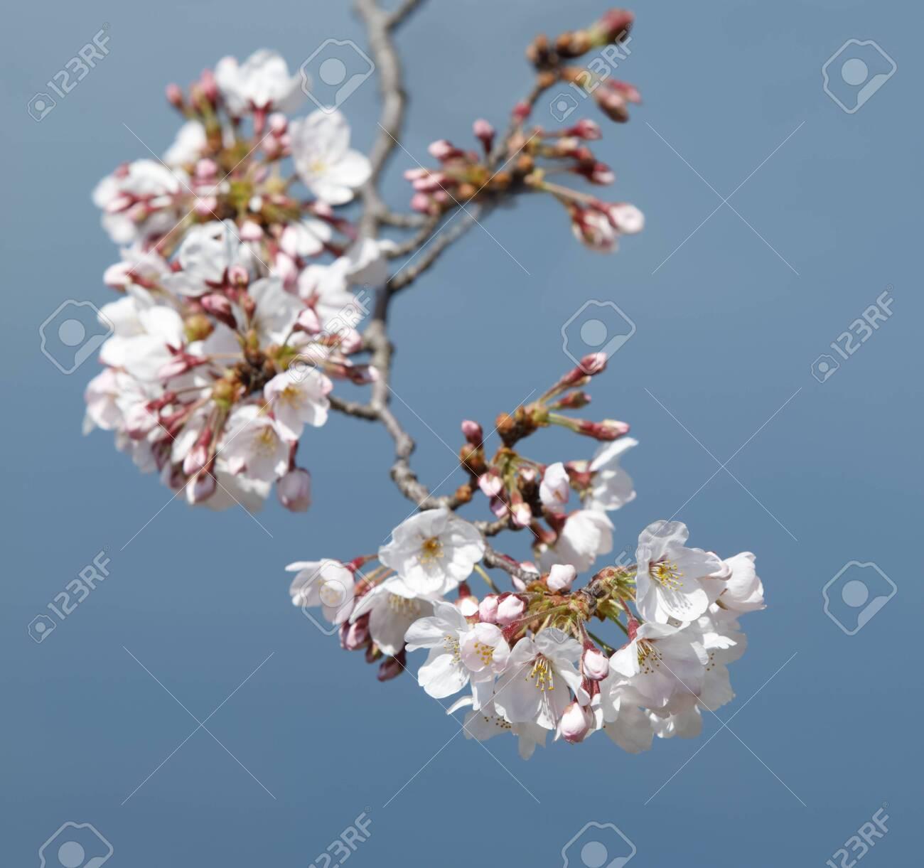 Cherry blossom branch - 129192452