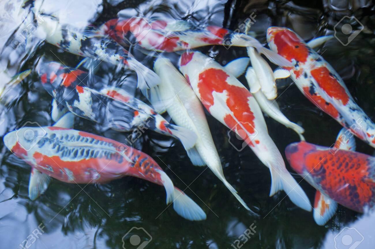 japanese colored carp - 129192651
