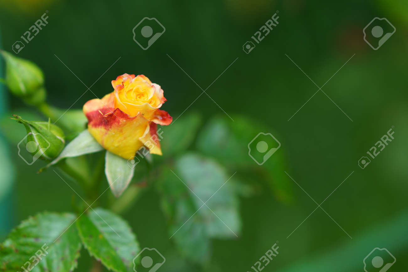 close-up soft focus of a beautiful orange lonely flower on a green bush. Yellow flowers Rosa Golden Celebration. Mothers day, womens day concept. - 164725903
