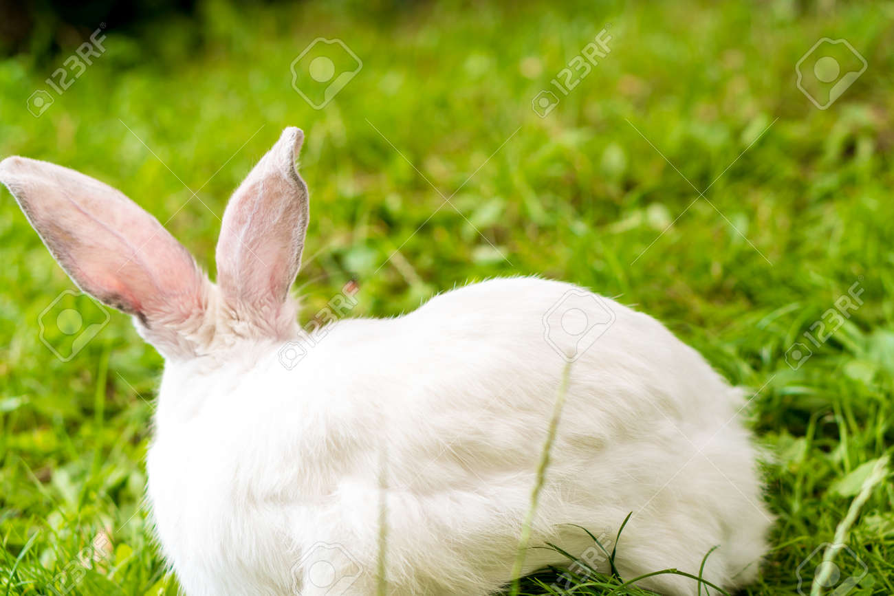back view of large adult frightened white rabbit sits against background of green lawn. Hare in wild meadow gnaws and eats grass in spring or summer. Animal, environmental protection. easter concept - 165197477