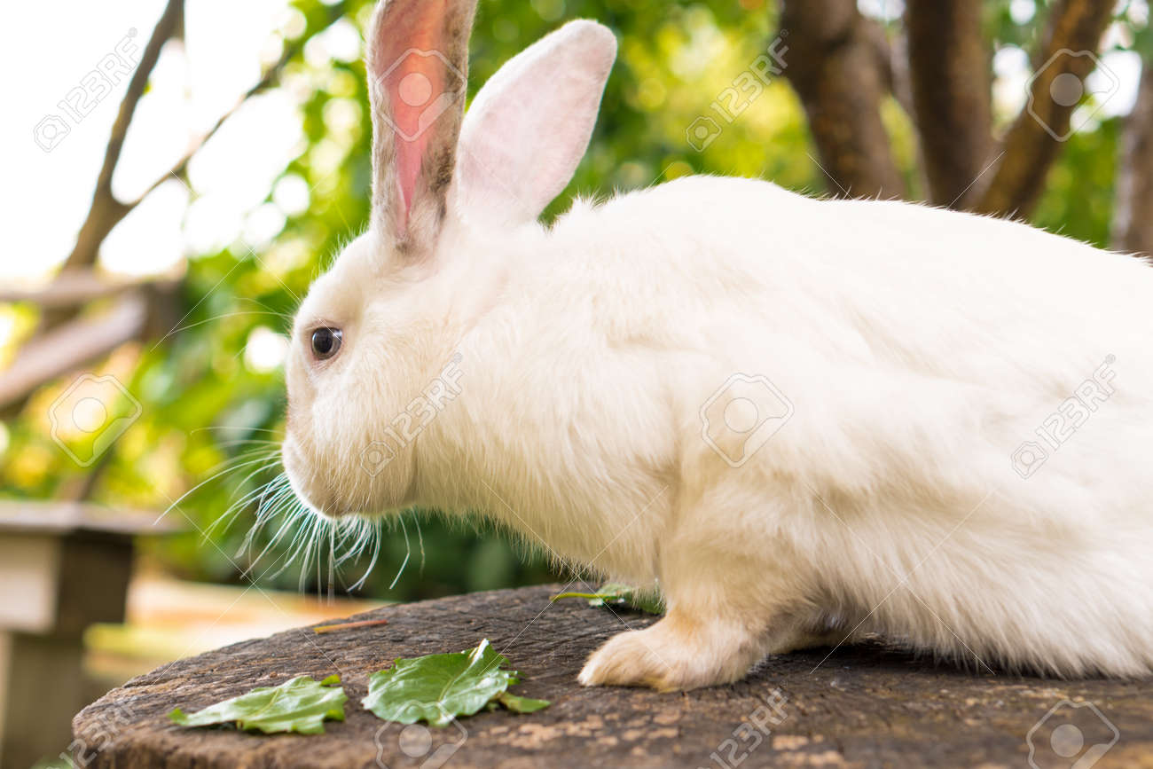large adult frightened white rabbit sits on tree stump against background of green lawn. Hare in wild meadow gnaws and eats grass in spring or summer. Animal, environmental protection. easter concept - 165210193