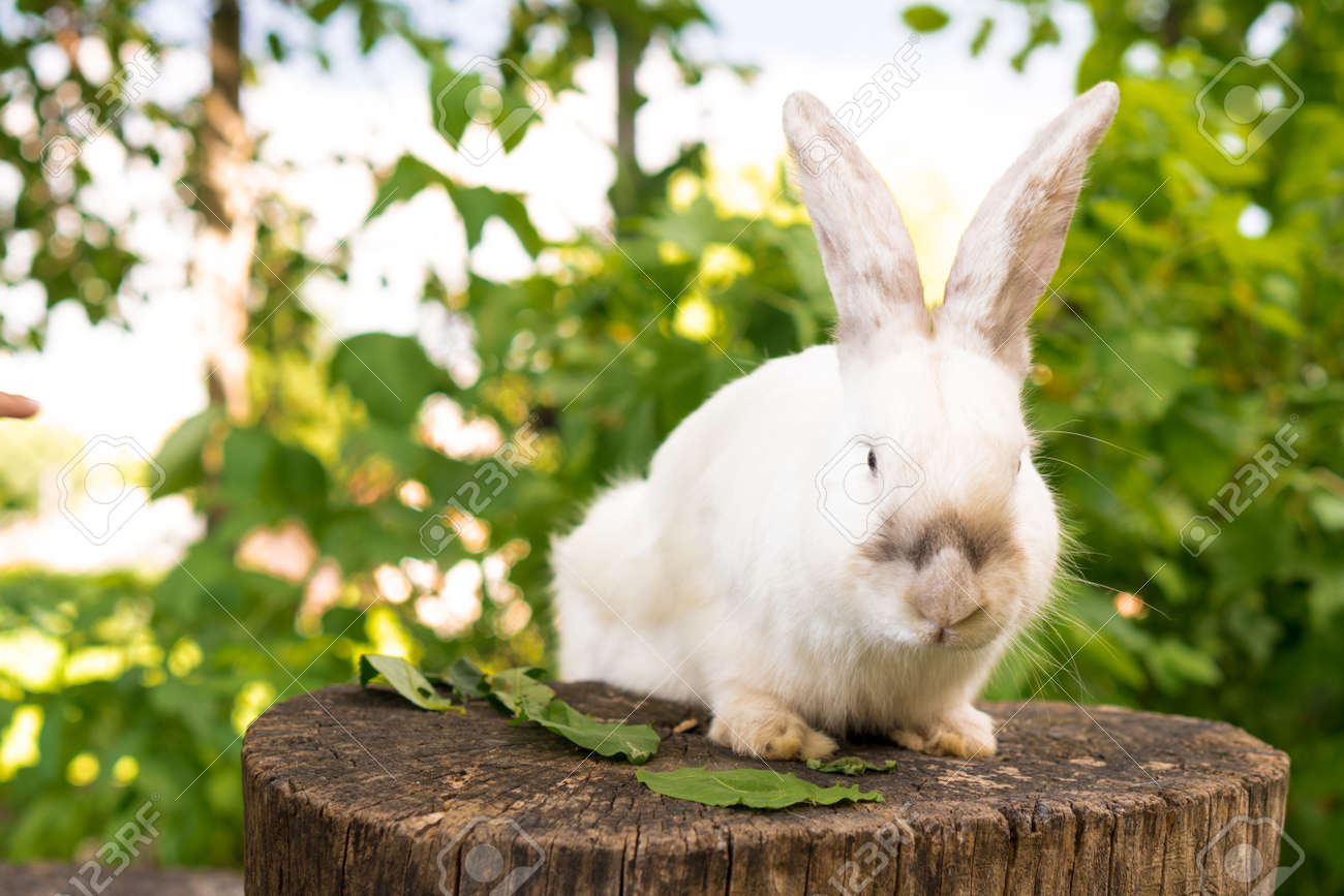 large adult frightened white rabbit sits on tree stump against background of green lawn. Hare in wild meadow gnaws and eats grass in spring or summer. Animal, environmental protection. easter concept - 165210426