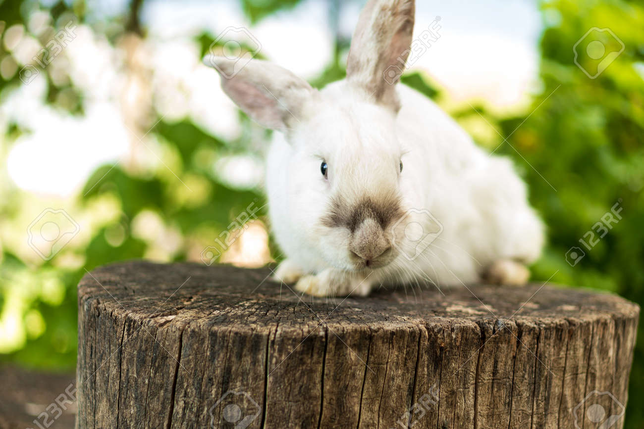 large adult frightened white rabbit sits on tree stump against background of green lawn. Hare in wild meadow gnaws look at camera in spring or summer. Animal, environmental protection. easter concept - 165210125