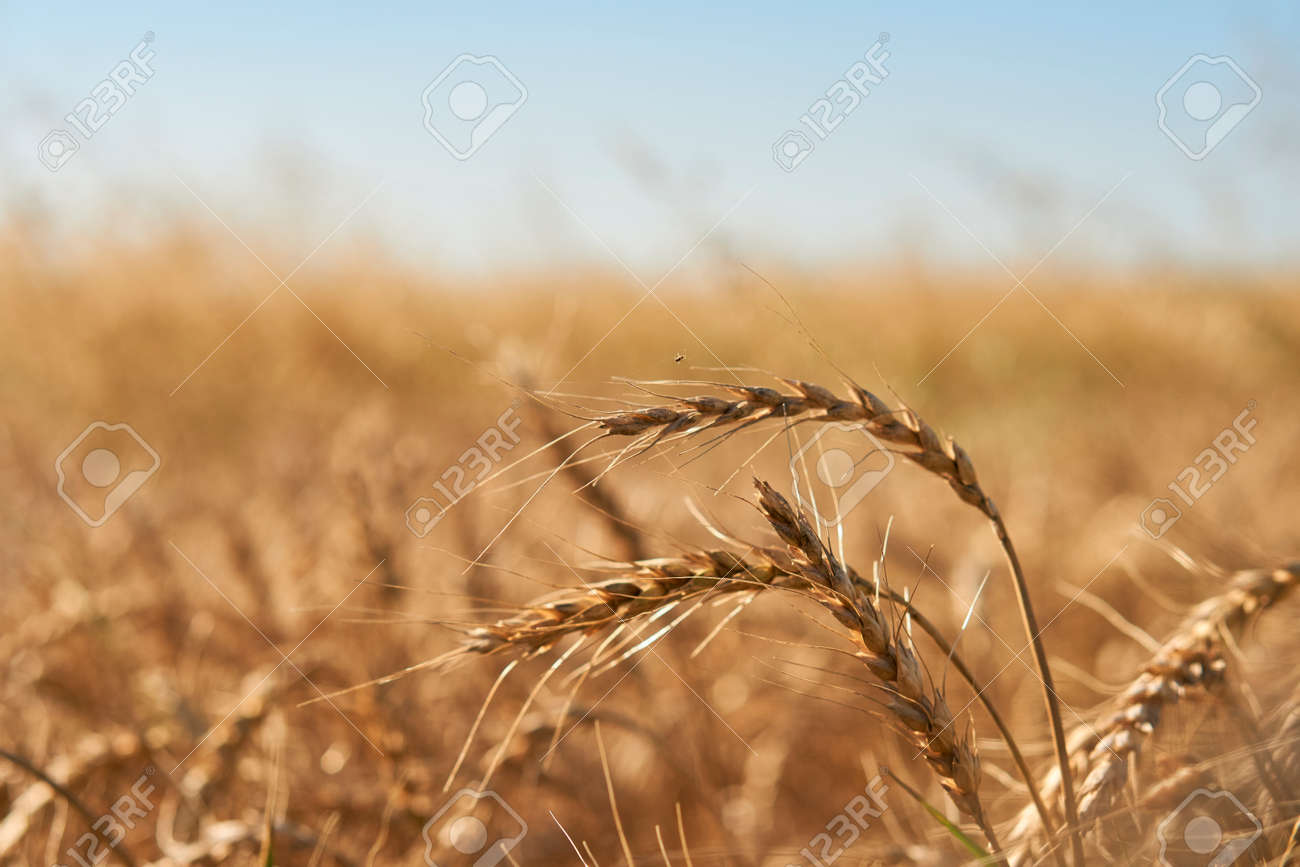 close-up soft focus ripe yellow and orange ears of wheat against blue sky. beautiful field of grasses stretching into horizon without limitation. Nature, agriculture, food and cooking, summer concept - 166761623