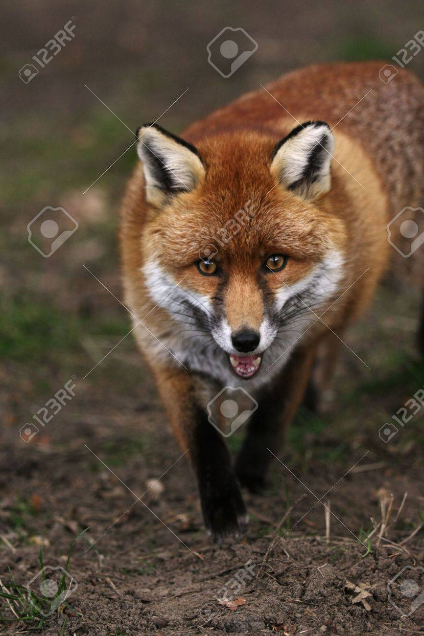red fox stock photos u0026 pictures royalty free red fox images and