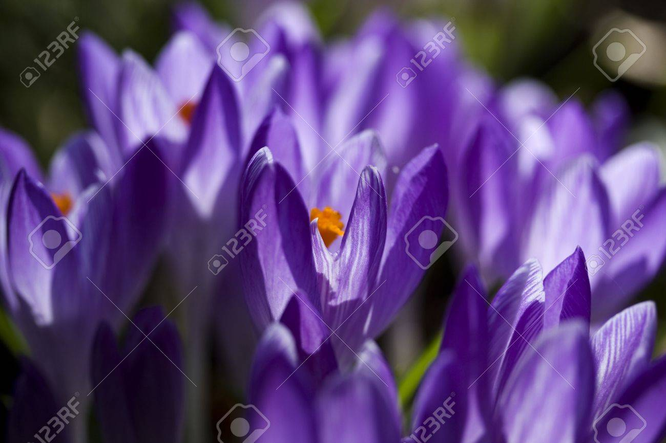 Cluster of purple crocus perennial flowers of spring close stock cluster of purple crocus perennial flowers of spring close up with backlighting stock photo mightylinksfo
