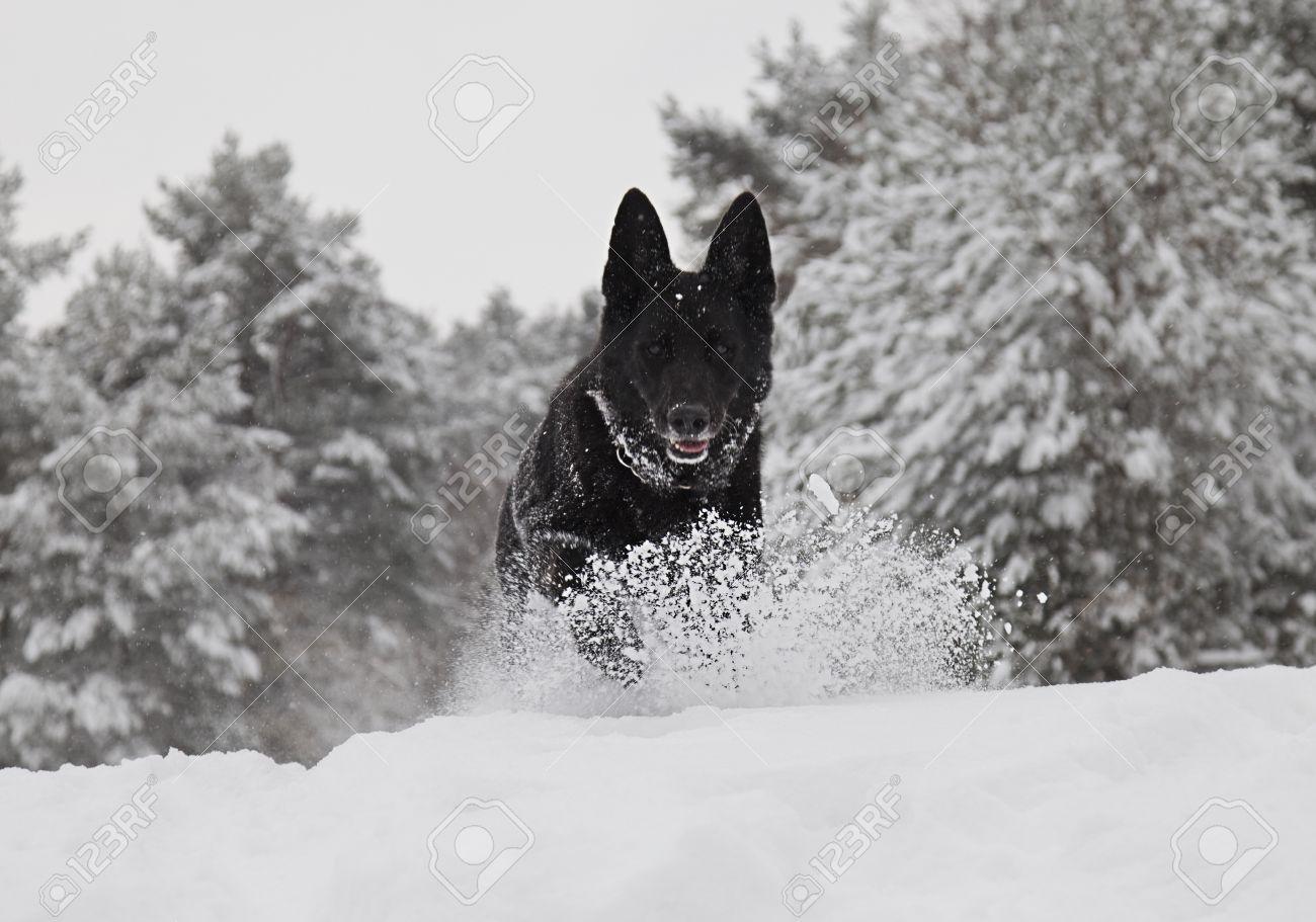 A Black German Shepherd Dog Running Towards The Camera In Snow