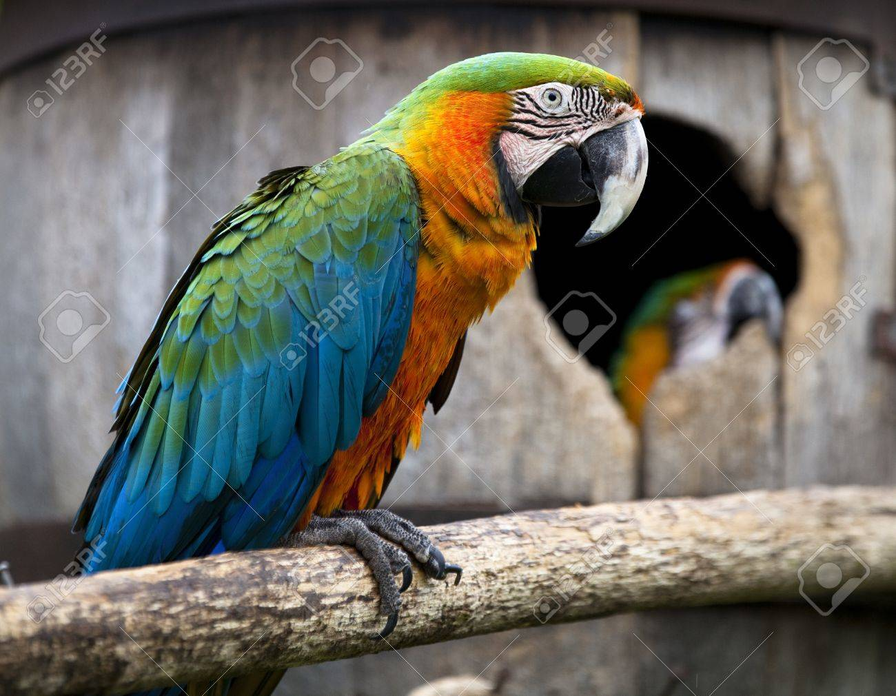 Captive macaw parrot on a natural branch with it's mate in the