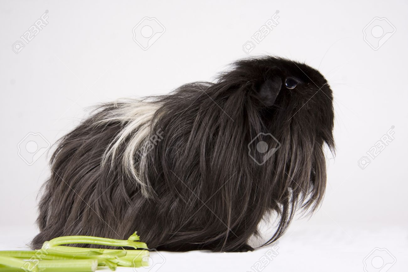 A long haired black white and grey guinea pig side profile a long haired black white and grey guinea pig side profile against a white background jeuxipadfo Gallery