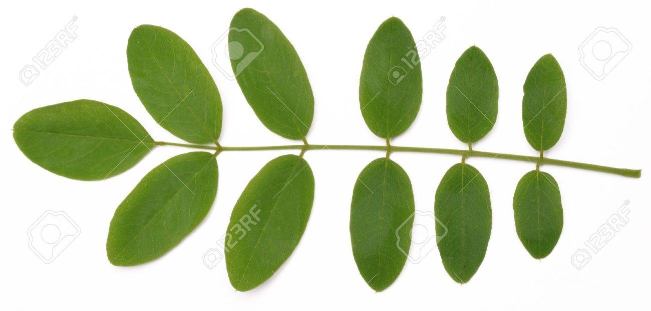 Acacia Leaves On A White Background Stock Photo Picture And Royalty