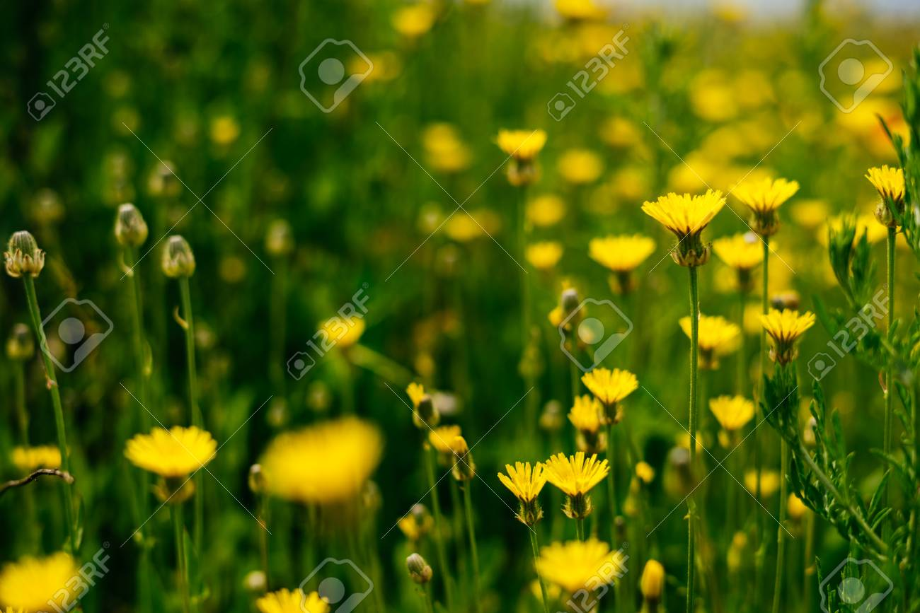 On The Endless Green Field Grow Fragrant Yellow Flowers Stock Photo