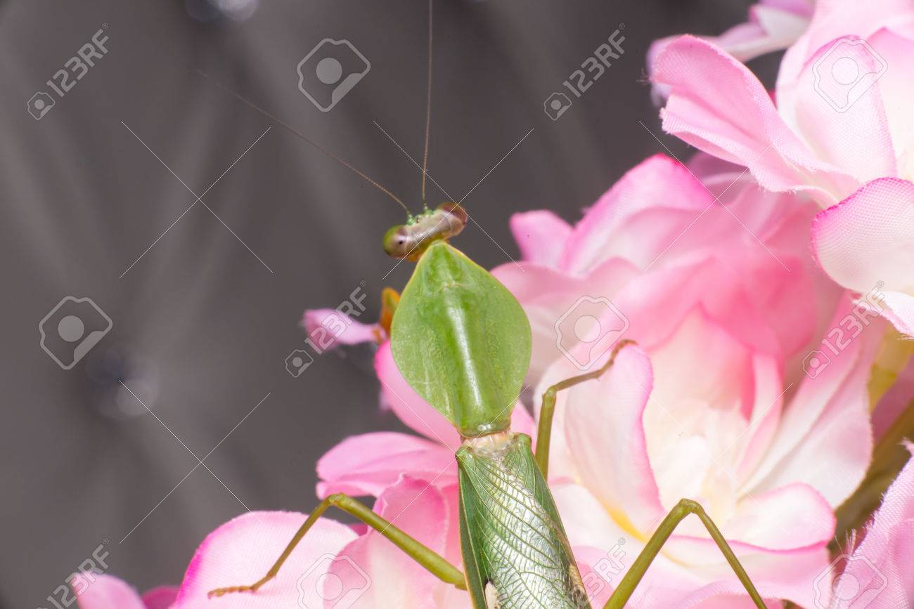 Giant malaysian shield praying mantis rhombodera basalis resting giant malaysian shield praying mantis rhombodera basalis resting on white and purple flower stock dhlflorist Image collections