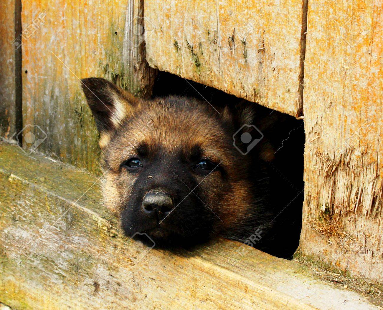 A Geman Shepherd puppy poking its head out of a hole Stock Photo - 14798718