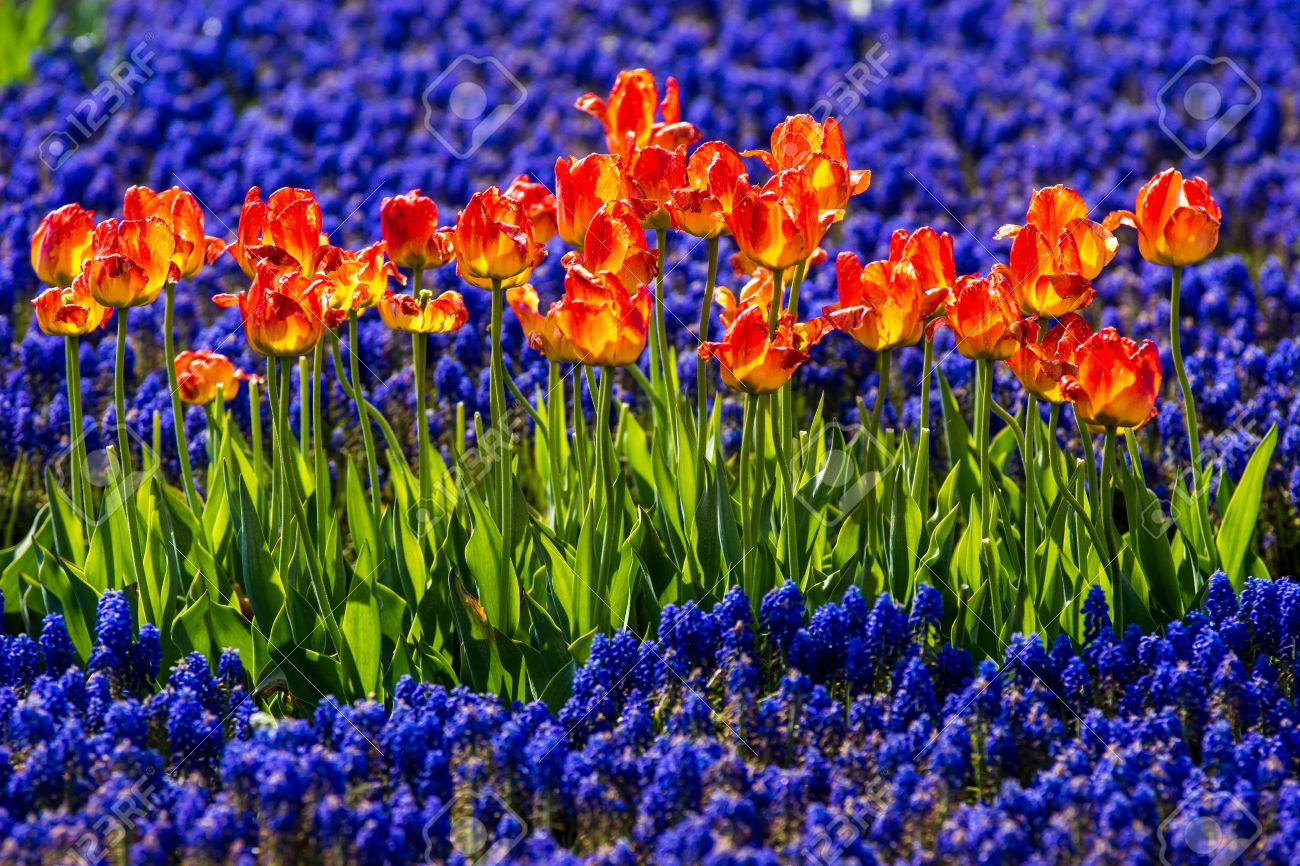 orange tulipa in field of blue flowers stock photo picture and