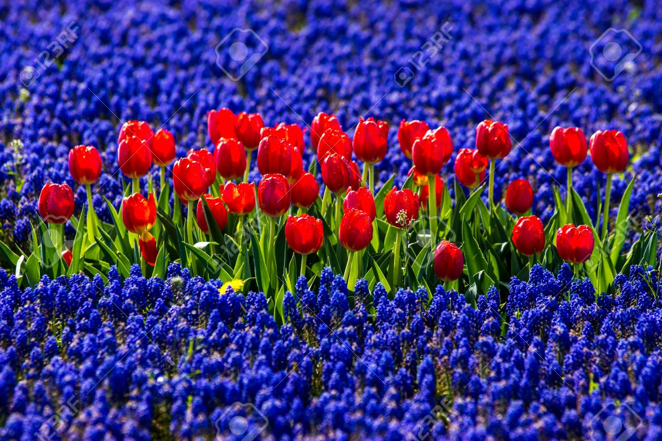 Red Tulips In Field Of Blue Flowers Stock Photo Picture And Royalty Free Image Image 29615158