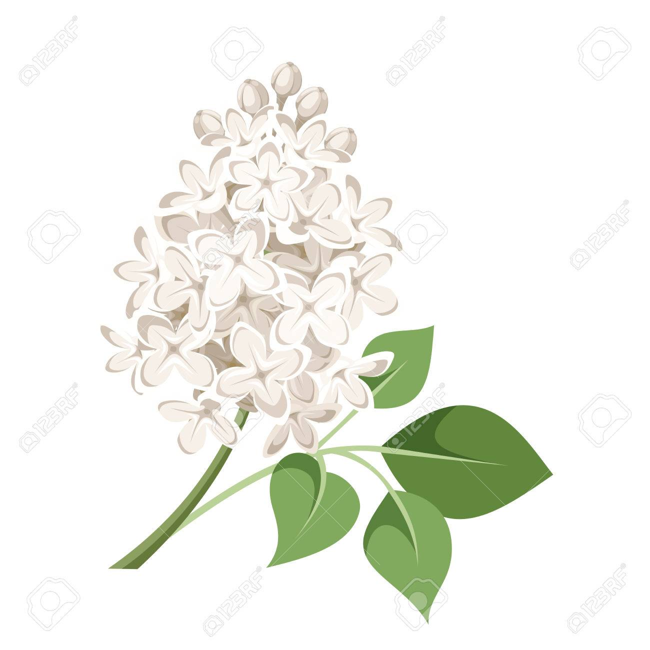 Branch Of White Lilac Flowers Vector Illustration Royalty Free