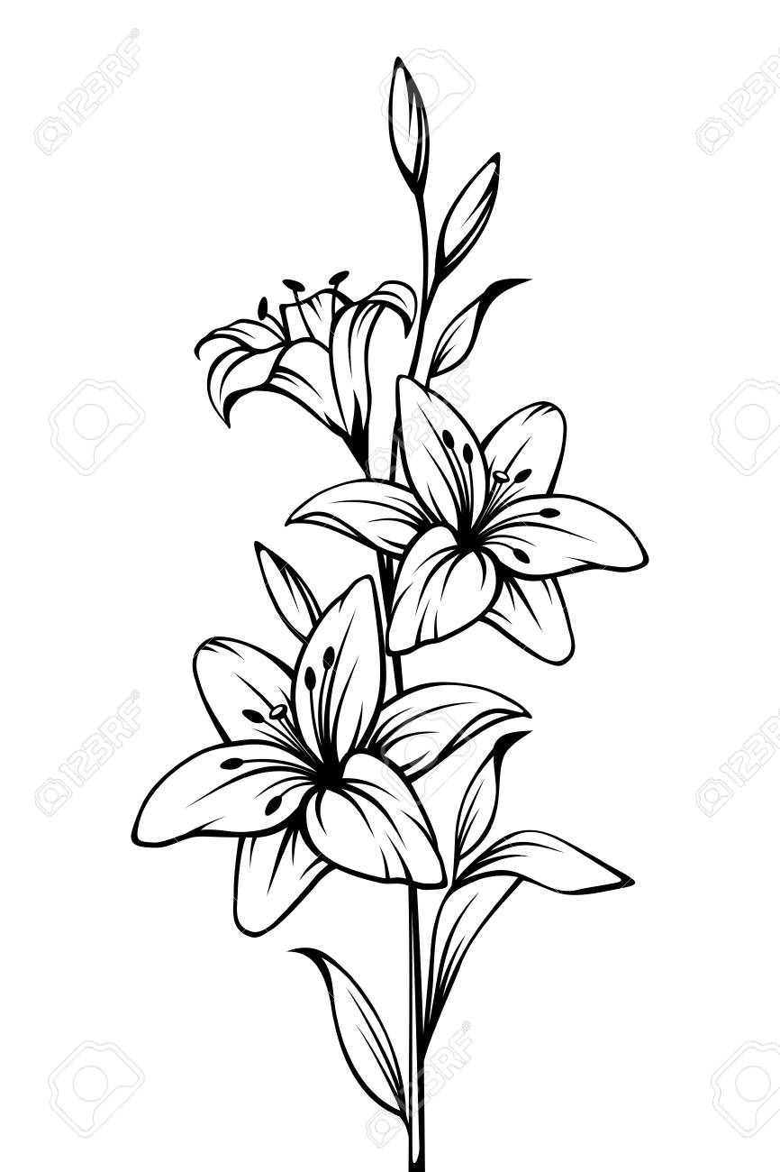 Vector black and white contour drawing of lily flowers. - 100910525