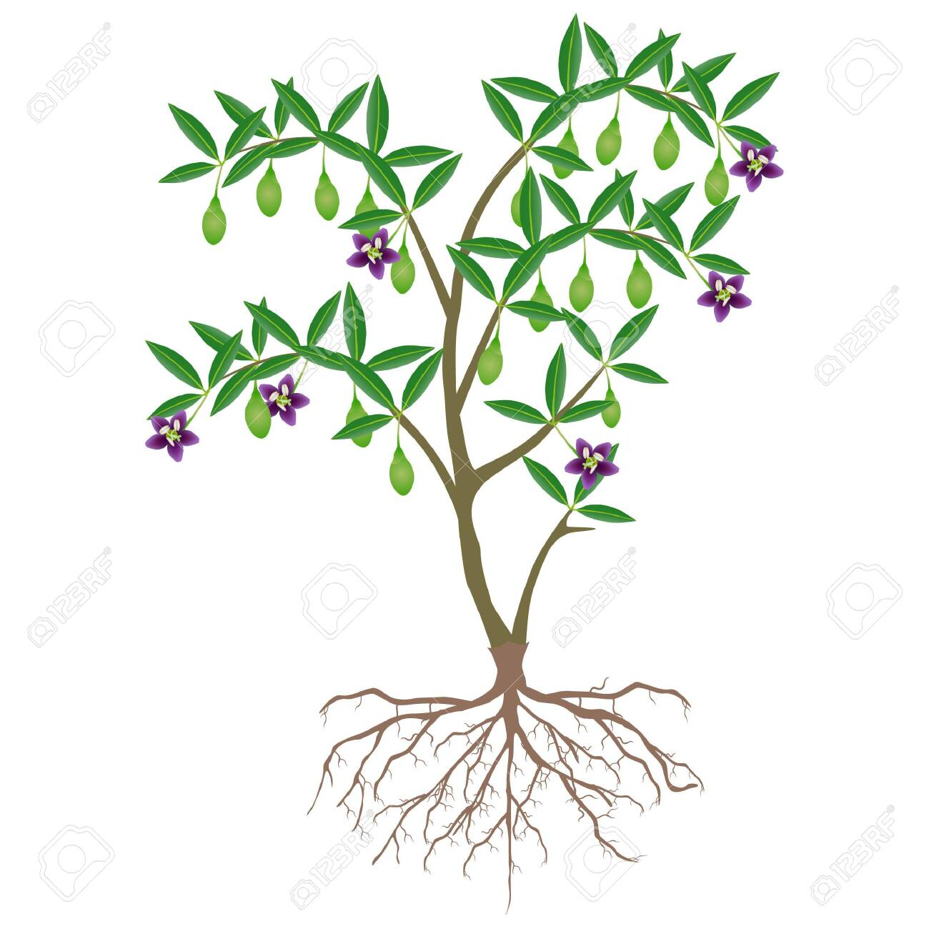 Goji Berry Plant With Unripe Fruit And Flowers Royalty Free