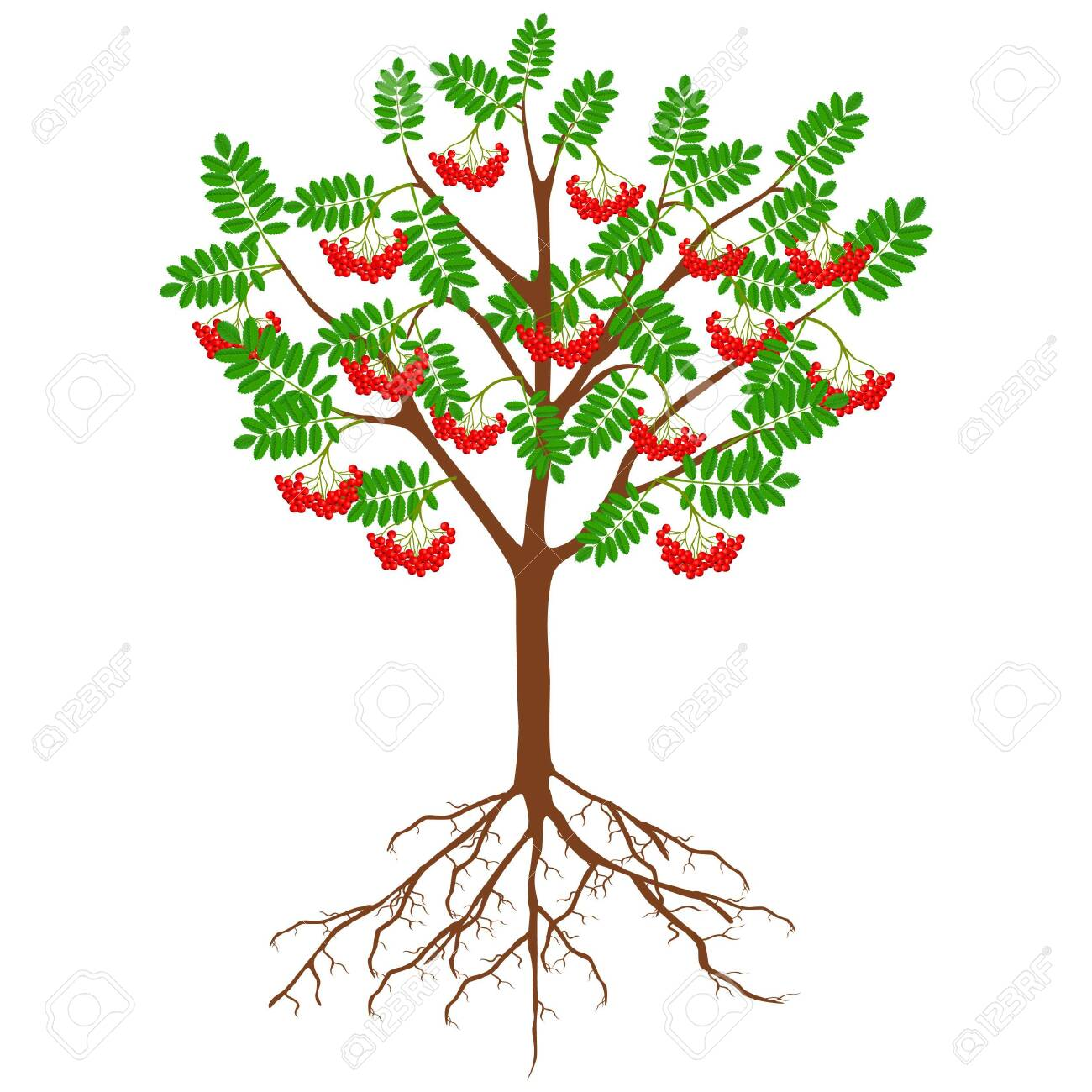 Red rowan with berries and roots on a white background. - 146834351