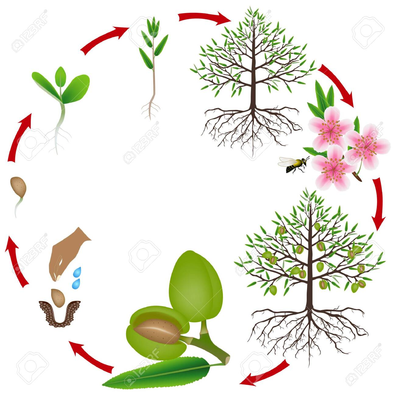 Life Cycle Of An Almond Tree On A White Background Royalty Free Cliparts Vectors And Stock Illustration Image 148206264