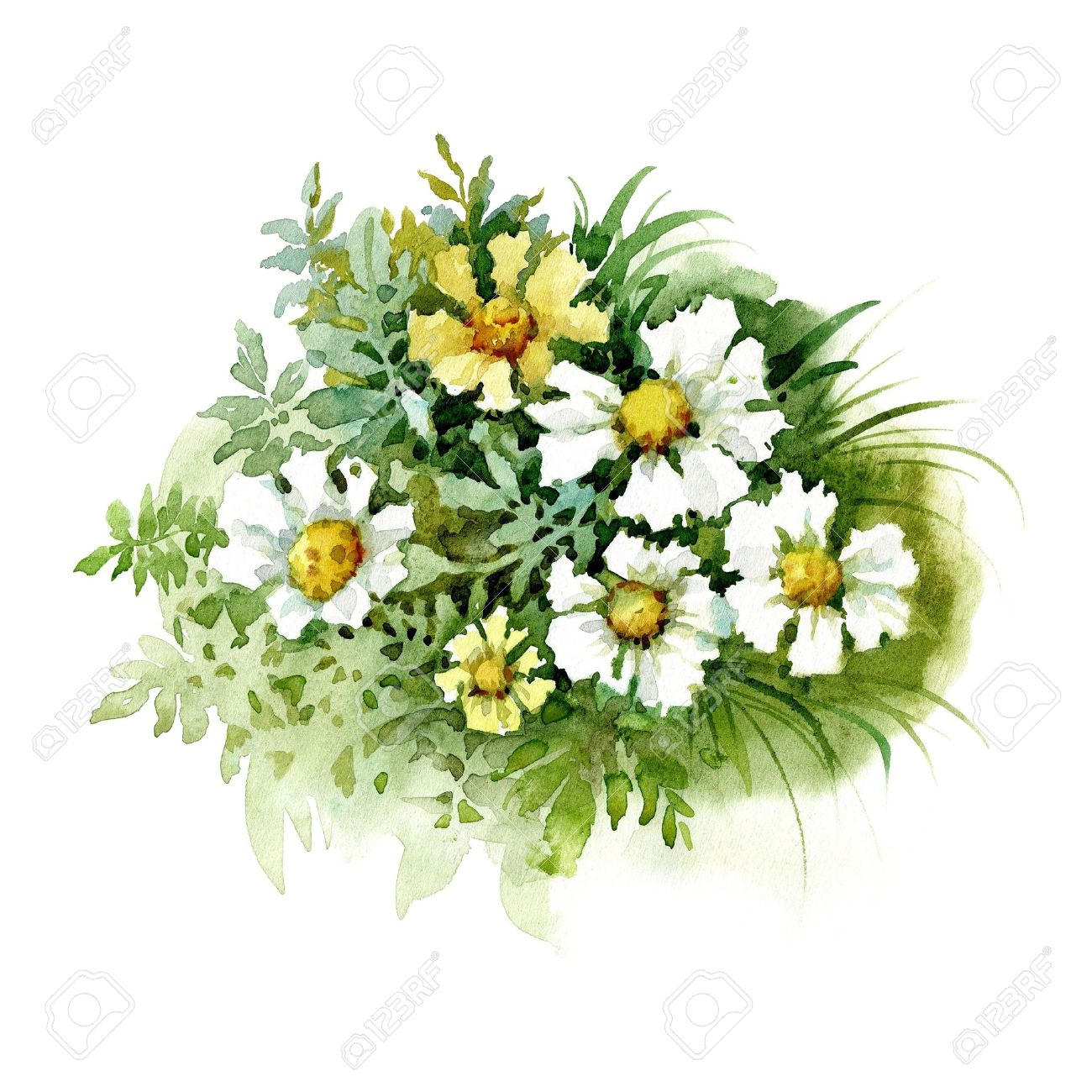 Watercolor Flower Collection White Marigold Stock Photo Picture