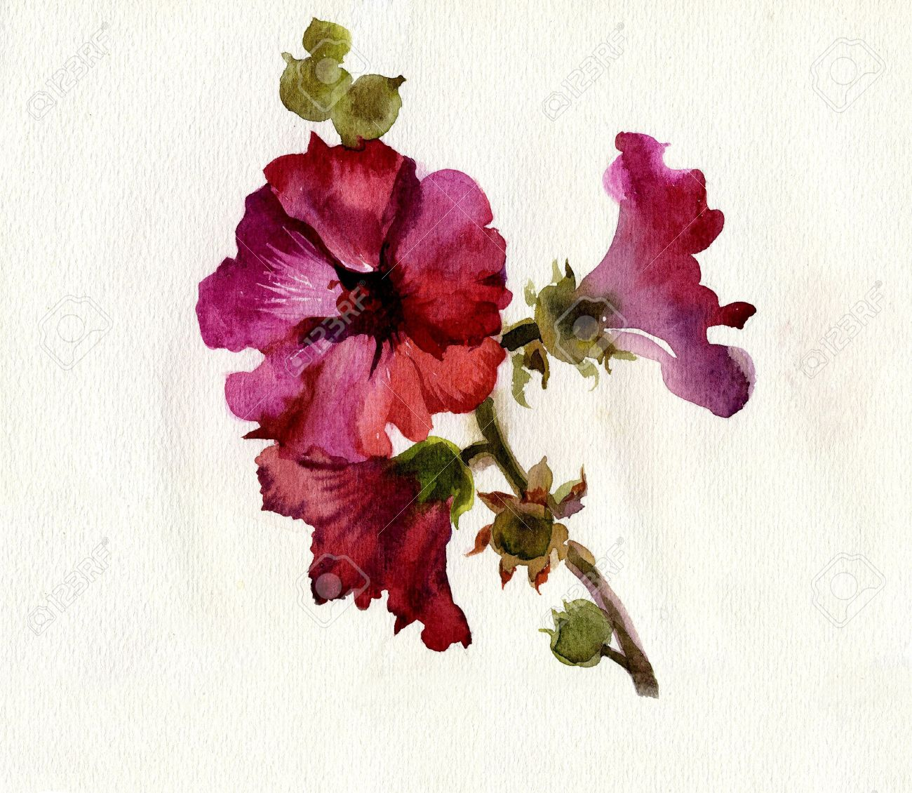 Watercolor Flower Collection: Mallow Stock Photo - 11200195