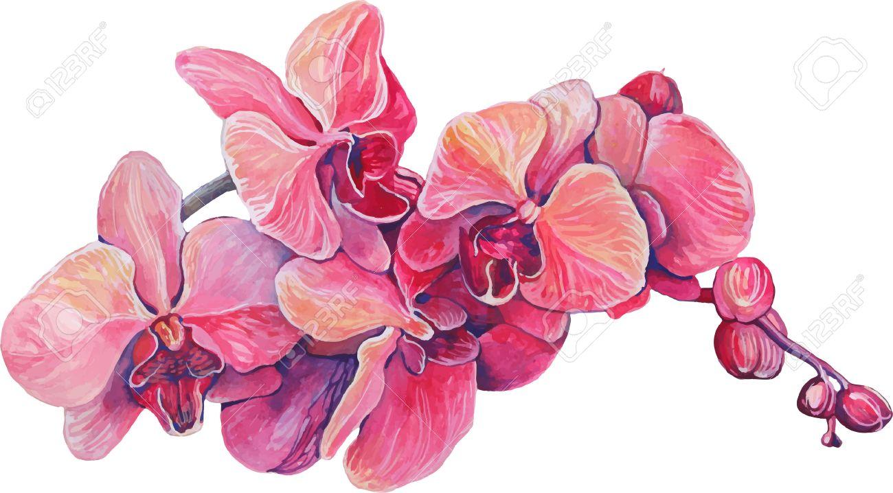 Foto de archivo , primer plano de flores de color rosa orquídea en una rama  en flor