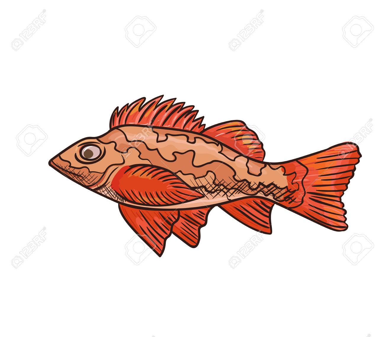 Sea Bass Vector Icon Isolated, Hand Drawn Sketch Of Red Sea Fish ...
