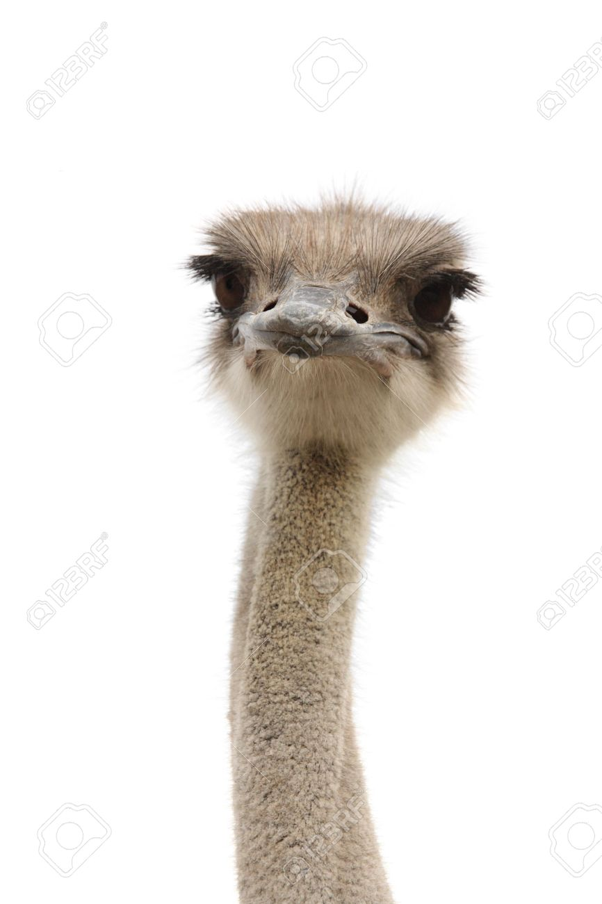 emu images u0026 stock pictures royalty free emu photos and stock